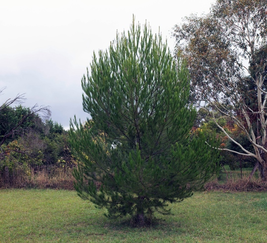 lone pine 1